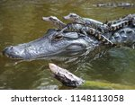 Mother Alligator With Babies...