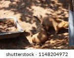black tailed prairie dog...   Shutterstock . vector #1148204972
