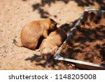 black tailed prairie dog... | Shutterstock . vector #1148205008