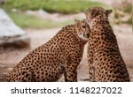 cheetah is a large cat of the... | Shutterstock . vector #1148227022