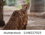 cheetah is a large cat of the... | Shutterstock . vector #1148227025
