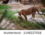 cheetah is a large cat of the... | Shutterstock . vector #1148227028