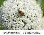 the bee pollinates the onions | Shutterstock . vector #1148240582