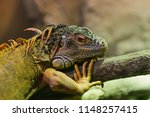 green iguana  also known as the ...   Shutterstock . vector #1148257415