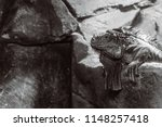 green iguana  also known as the ...   Shutterstock . vector #1148257418