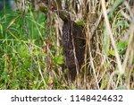 honeybee swarm hanging in...   Shutterstock . vector #1148424632
