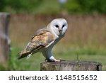portrait of a barn owl  tyto...   Shutterstock . vector #1148515652