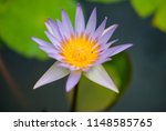 beautiful lotus in the pond | Shutterstock . vector #1148585765