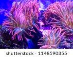 Anemones Coral Reef Underwater...