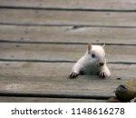 White  Albino Squirrel...