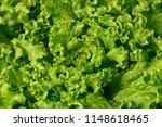 green leaf lettuce  leaf... | Shutterstock . vector #1148618465