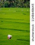 rice field worker in ubud  bali....   Shutterstock . vector #1148648645
