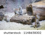 Family Of Cape Ground Squirrel...