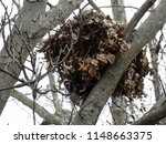Squirrels\' Nest In Tree During...
