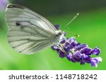 resting cabbage white butterfly ... | Shutterstock . vector #1148718242