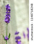 purple colored lavender flowers ... | Shutterstock . vector #1148718248
