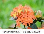 spike flower  orange  flower... | Shutterstock . vector #1148785625