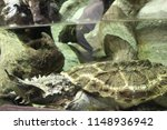 mata mata turtle  chelus... | Shutterstock . vector #1148936942