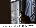 big large maine coon calico cat ... | Shutterstock . vector #1148949875