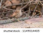 eurasian wren  troglodytes... | Shutterstock . vector #1149014405