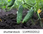 Small And Large Cucumbers...