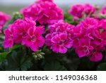 Pink Geranium In Garden