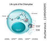 chlamydia life cycle. bacteria. ...   Shutterstock .eps vector #1149045095