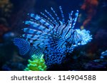 The Blue Lionfish In The Sea...