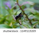 rhinoceros beetle on orchid...   Shutterstock . vector #1149115205
