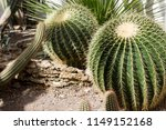 Small photo of Close up image of barrel cacti with other cacti in background, taken in glasshouse at National Botanic Garden of Oslo