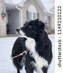 portrait of a border collie dog ... | Shutterstock . vector #1149210122