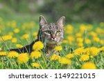 beautiful tabby cat lying in... | Shutterstock . vector #1149221015