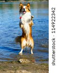 Red Dog Border Collie Playing...