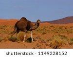 Dromedary  Camelus Dromedarius  ...