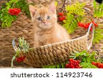 Stock photo lovely red british kitten looking out from under a basket in the autumn 114923746