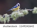 Blue Tit And Lichen. A Cheeky...