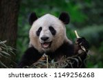 panda bear eating bamboo ... | Shutterstock . vector #1149256268