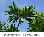 mango tree in hawaii. sea mango ... | Shutterstock . vector #1149284048