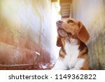 Stock photo portrait of beagle dog outdoor at a side of house s wall 1149362822