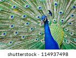 Close Up Of A Male Peacock...
