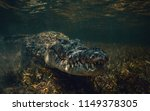 saltwater american crocodile... | Shutterstock . vector #1149378305