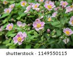 pink flower of chinese anemone  ...   Shutterstock . vector #1149550115