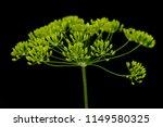 fresh dill flowers on black... | Shutterstock . vector #1149580325
