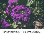 Purple Verbena Flowers. Flower...