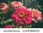 Flowers of zinnia. floral...