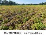 Dried Potato Plants On Dutch...