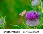 a hummingbird hawk moth flying... | Shutterstock . vector #1149631025