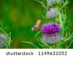 a hummingbird hawk moth flying... | Shutterstock . vector #1149631052
