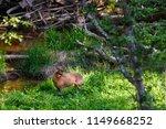 beautiful roe deer washing back ... | Shutterstock . vector #1149668252