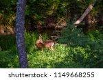 beautiful roe deer washing back ... | Shutterstock . vector #1149668255